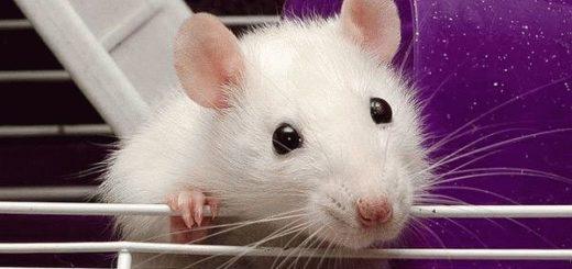 К чему снится белая крыса?