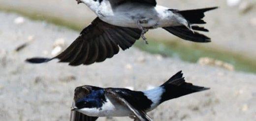 Ласточки низко летают - к чему это по примете?