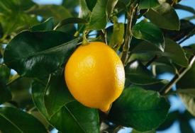 Волшебные свойства лимона
