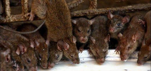 К чему снится много крыс по сонникам Цветкова, Медеи, Менегетти