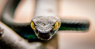 К чему снится нападение змеи по соннику Фрейда, Миллера, Ванги