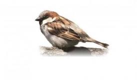 Приметы о воробьях: почему воробей - проклятая птица