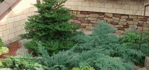 Плохая примета: голубая ель на участке у дома