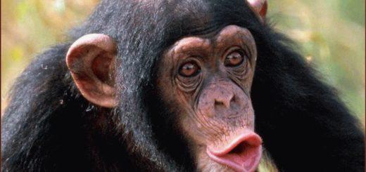 К чему снится обезьяна женщине?
