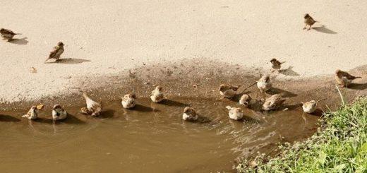 Примета: воробьи купаются в луже - толкование