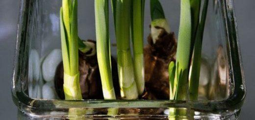 Как вырастить тюльпаны и нарциссы в вазе.