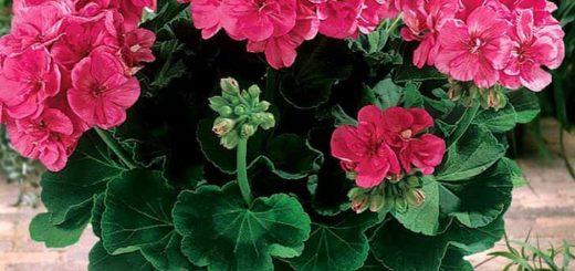 Красная, розовая и белая герань в доме - приметы и суеверия